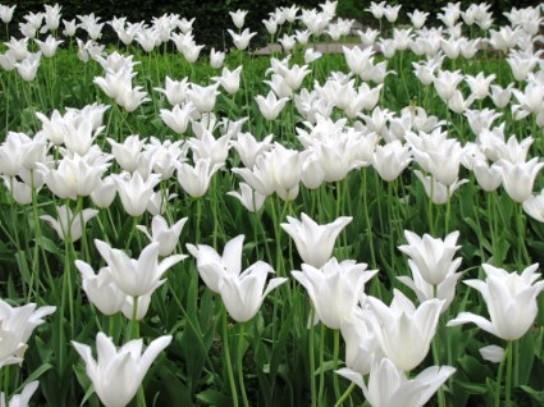 tulips -flowers